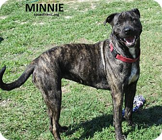 American Pit Bull Terrier Mix Dog for adoption in Elizabeth City, North Carolina - Minnie