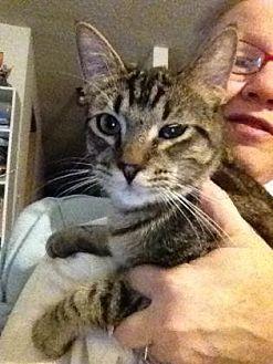 Domestic Shorthair Kitten for adoption in Oklahoma City, Oklahoma - Archibald