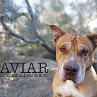 Adopt A Pet :: Caviar - Palm Springs, CA
