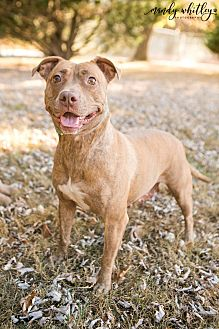 Staffordshire Bull Terrier Mix Dog for adoption in Columbia, Tennessee - Dutchess