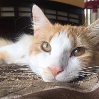 Adopt A Pet :: Apollo Rain - Fort Lauderdale, FL