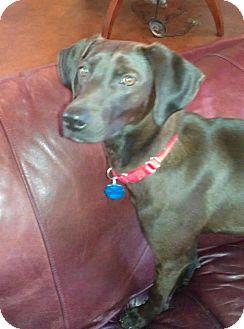 Labrador Retriever/Weimaraner Mix Dog for adoption in Starkville, Mississippi - Janie