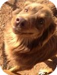 Australian Shepherd Mix Dog for adoption in Manchester, Connecticut - Lucy ADOPTION PENDING