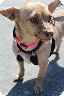 Chihuahua Mix Dog for adoption in Wytheville, Virginia - Belle The Lap Warmer