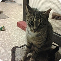 Adopt A Pet :: Brown Tabby - Chesterfield, VA