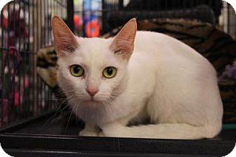 Domestic Shorthair Cat for adoption in Hamilton., Ontario - Aria