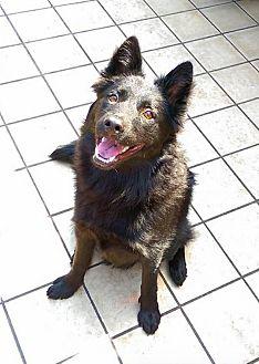 Border Collie/Labrador Retriever Mix Puppy for adoption in menlo park, California - Theodore