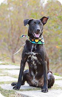 Labrador Retriever Mix Dog for adoption in Castro Valley, California - Lambo