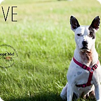Pit Bull Terrier/Blue Heeler Mix Dog for adoption in La Crosse, Wisconsin - Olive