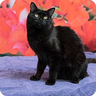 Domestic Mediumhair Cat for adoption in Houston, Texas - Bowie