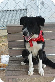Border Collie Mix Dog for adoption in Meridian, Idaho - Banjo