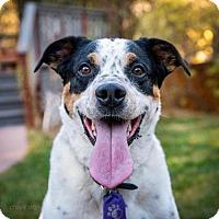 Cattle Dog Mix Dog for adoption in Boulder, Colorado - Mesa - Courtesy Post