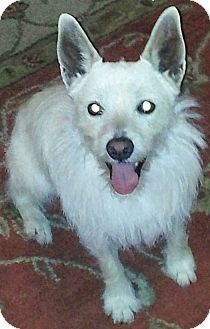 Westie, West Highland White Terrier Mix Dog for adoption in Austin, Texas - Zeus in San Antonio