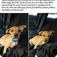 Labrador Retriever Mix Puppy for adoption in Phoenix, Arizona - Bohni