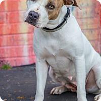 Adopt A Pet :: Shaina - Houston, TX