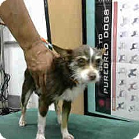 Terrier (Unknown Type, Small) Mix Dog for adoption in San Bernardino, California - URGENT 5/1 @ DEVORE