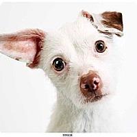 Adopt A Pet :: Miracle - New York, NY