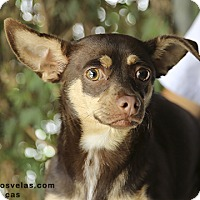 Adopt A Pet :: Cindy - Corona, CA