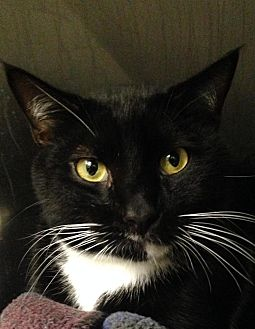Domestic Shorthair Cat for adoption in Marlton, New Jersey - Hurricane