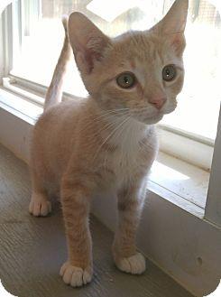 Domestic Shorthair Kitten for adoption in Bryson City, North Carolina - Morris