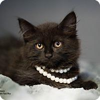 Adopt A Pet :: Peyton - Brockton, MA