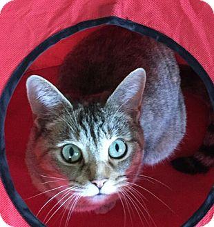 Domestic Shorthair Cat for adoption in Ypsilanti, Michigan - Murphy
