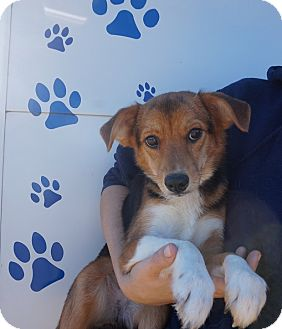 Sheltie, Shetland Sheepdog/Rat Terrier Mix Dog for adoption in Oviedo, Florida - Sweetpea