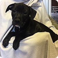 Labrador Retriever Mix Puppy for adoption in Brattleboro, Vermont - Laurel