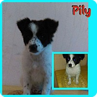 Adopt A Pet :: Pily - LAKEWOOD, CA