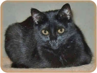 Domestic Shorthair Cat for adoption in Howell, Michigan - Boo