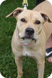 Labrador Retriever Mix Dog for adoption in Dover, Ohio - Bailey