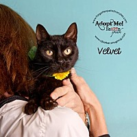 Domestic Shorthair Cat for adoption in Pearland, Texas - Velvet