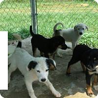 Adopt A Pet :: Aussie/Border Collie pups! - Chicago, IL