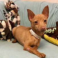 Adopt A Pet :: Sassafras - Phoenix, AZ