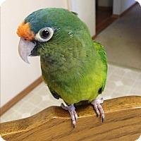 Adopt A Pet :: Connie - St. Louis, MO