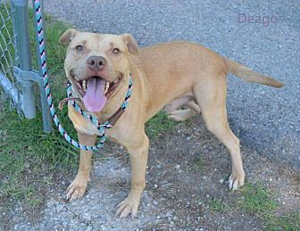 Pit Bull Terrier Mix Dog for adoption in Newcastle, Oklahoma - Deago