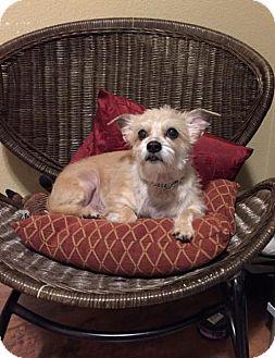 Terrier (Unknown Type, Medium)/Poodle (Miniature) Mix Dog for adoption in Sacramento, California - Autumn
