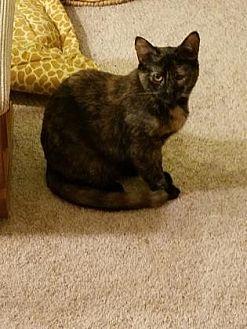 Domestic Mediumhair Kitten for adoption in Philadelphia, Pennsylvania - Layla