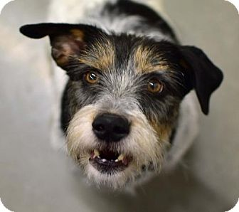 Parson Russell Terrier/Beagle Mix Dog for adoption in Greenfield, Indiana - Zelda