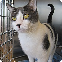 Adopt A Pet :: Simba - Sierra Vista, AZ
