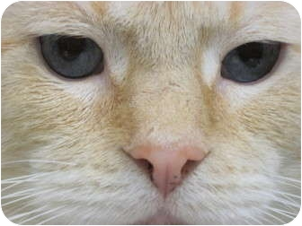 Siamese Cat for adoption in Warren, Ohio - Mr. Butters