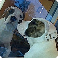 Adopt A Pet :: Henry-Courtesy Post - Olmsted Falls, OH