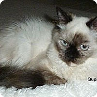 Adopt A Pet :: Qupid - Portland, OR