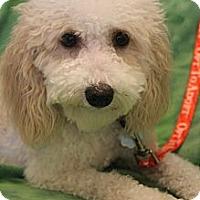 Adopt A Pet :: Bella Sue - Wytheville, VA