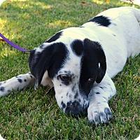 Adopt A Pet :: *Altus - PENDING - Westport, CT