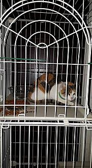 Calico Cat for adoption in Albemarle, North Carolina - Sarah Polk