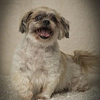 Adopt A Pet :: Gizmo  Denzel - Davie, FL