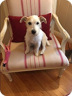 Jack Russell Terrier Dog for adoption in Lafayette, California - Mimi