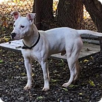 Terrier (Unknown Type, Medium)/American Pit Bull Terrier Mix Puppy for adoption in Fulton, Missouri - Acorn- Ohio