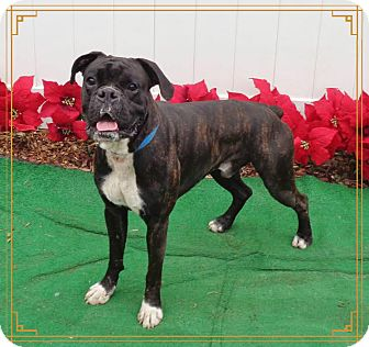 Boxer Dog for adoption in Marietta, Georgia - COBE (R)